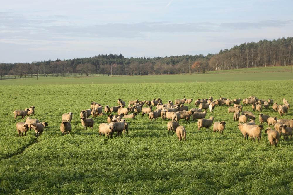 Im Moment grasen die Schafe direkt vor Seelwig. Im Hintergrund ist der Korviner Wald zu sehen.